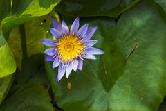 Violet lotus blooming. Blooming purple lotus with yellow pollen on the pool in the garden Stock Image