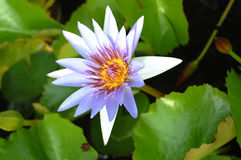 Violet Lotus Blossom Royalty Free Stock Images