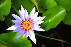 Violet Lotus Blossom. The lotus flower represents one symbol of fortune in Buddhism. It grows in muddy water, and it is this environment that gives forth the stock images