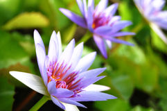 Violet Lotus Blossom Stock Photography