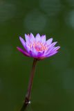 Violet lotus blossom Stock Image