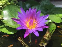 Violet lotus in bowl water Royalty Free Stock Images