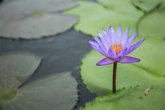 Violet lotus. Calm violet lotus show the calm sense Royalty Free Stock Image