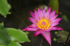 Violet lotus. Close up with leaf background royalty free stock images