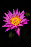 Violet lotus. Close up violet lotus with yellow pollen Stock Images