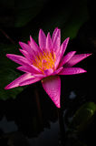 Violet lotus. Close up violet lotus with yellow pollen Royalty Free Stock Photo