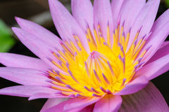 Violet lotus. Close up violet lotus with yellow pollen Royalty Free Stock Photos