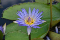 Violet lotus flower & bees Stock Photo