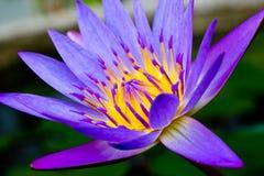 Violet Lotus Flower Closeup Imágenes de archivo libres de regalías