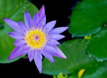 Violet Lotus Flower Closeup Imagenes de archivo