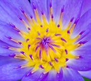Violet Lotus Flower Closeup Imagen de archivo
