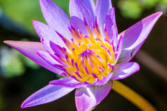 Violet Lotus Flower Closeup Royalty Free Stock Photography