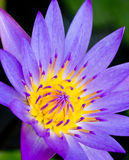 Violet Lotus Flower Closeup Royalty Free Stock Image