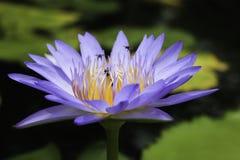 Violet Lotus Flower con las abejas Imágenes de archivo libres de regalías