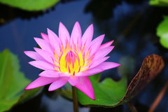 Violet lotus flower. Detail of violet lotus flower Royalty Free Stock Image