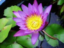 violet lotus flower Stock Photo