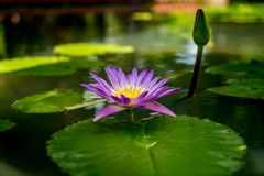 Violet lotus flower. And lotus green leaves in pond Stock Photography