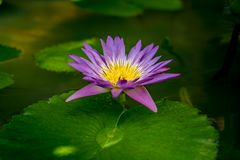 Violet lotus flower. And lotus green leaves in pond Royalty Free Stock Photo