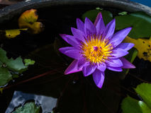 Violet Lotus Flower. / Mobile photography Stock Image