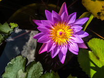 Violet Lotus Flower. / Mobile photography Stock Images