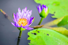 Violet lotus flower plants Royalty Free Stock Image