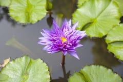 The violet Lotus Flower Stock Photos