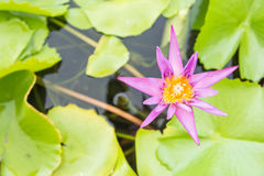 Violet lotus flower in pond Stock Photos