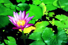 Violet Lotus Flower. Lotus in pool Royalty Free Stock Photo