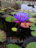 Violet lotus flower Royalty Free Stock Photography