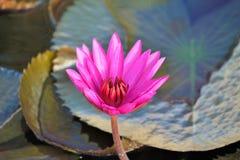 Violet lotus flower. In swamp Royalty Free Stock Photos