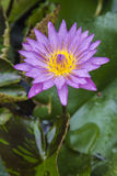 Violet lotus flower. Stock Image