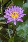 Violet lotus flower. Stock Image