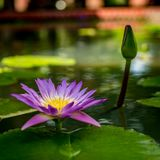 Violet lotus flower. And lotus green leaves in pond Royalty Free Stock Photos
