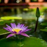 Violet lotus flower Royalty Free Stock Photos