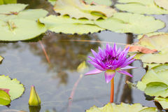Violet lotus flower in water Royalty Free Stock Image