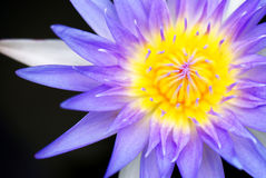Violet lotus flower. Violet lotus flower and yellow pollen Royalty Free Stock Image