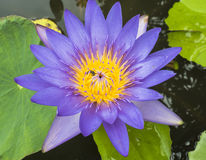 Violet lotus. Flower with yellow pollen and bee and green leaf Stock Images