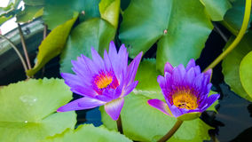 Violet Lotus Flowers. In Temple royalty free stock images