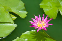 Violet lotus and green leaf Stock Photos