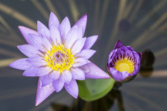 Violet lotus. And green leaf Stock Image