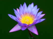 Violet lotus Royalty Free Stock Photography