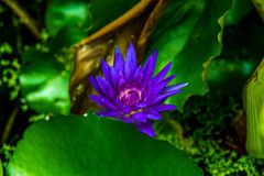 Violet lotus and green leaf Royalty Free Stock Image