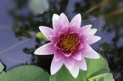 Violet lotus. And green leaves in the pond Royalty Free Stock Image