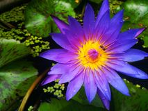 Violet lotus. The history and symbolism of the lotus flower dates back thousands of years Stock Photo