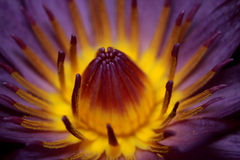Violet lotus. Nelumbo nucifera (পদ্ম), known by numerous common names including Indian lotus, sacred lotus, bean of India, or simply lotus Stock Photography