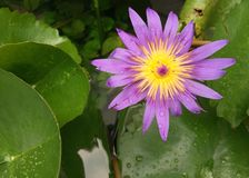 Violet lotus on the pond at backyard. With green leaves Royalty Free Stock Images