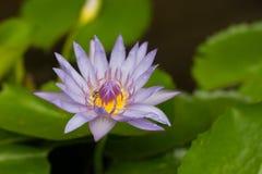 Violet lotus in pond. Royalty Free Stock Image