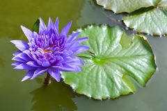 Violet lotus in the pond. Violet lotus and leaves in the pond stock photo