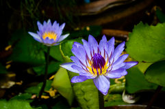 Violet lotus. In a pond in sunshine Stock Photos