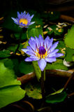 Violet lotus. In a pond in sunshine Royalty Free Stock Photos